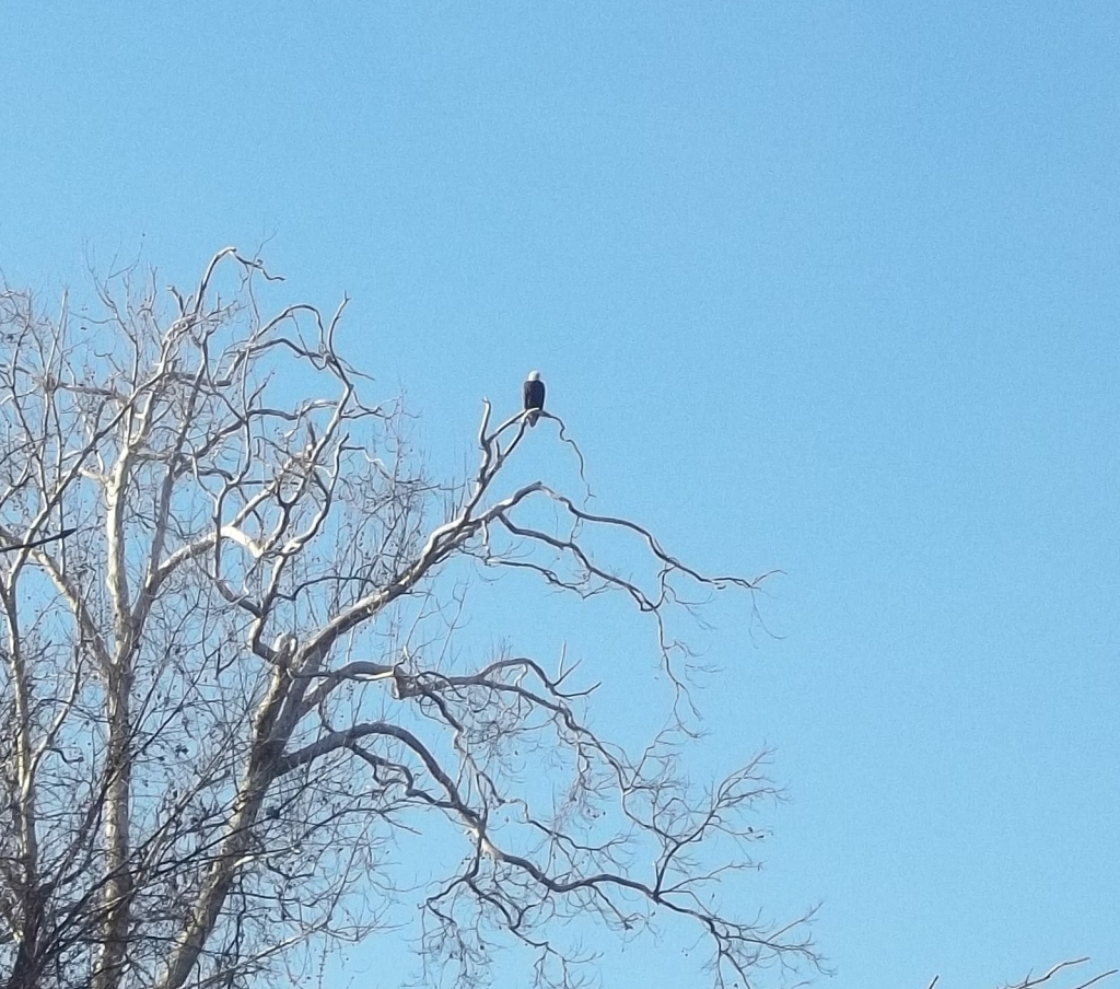 Bald eagles can be seen fishing in Lake Taneycomo. This picture taken last week at Trophy Run.
